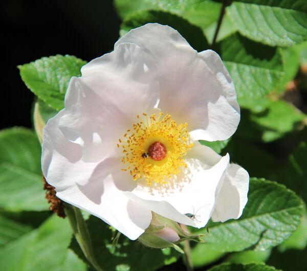 Rosa 'Dagmar Hastrup'