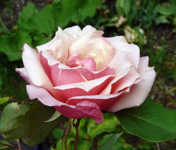 Rosa 'Beauté Inconstante'