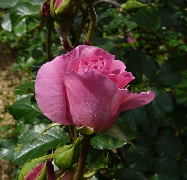 Rosa 'Bouquet Parfait ®'