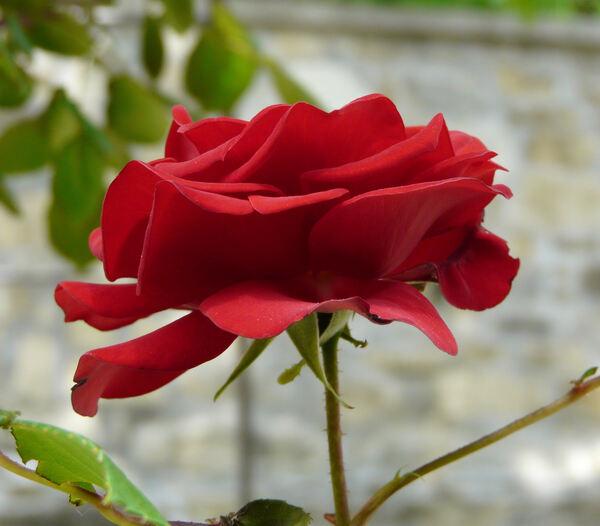 Rosa 'Exploit ®'