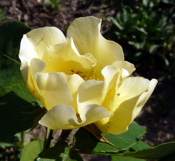 Rosa 'Golden Wings ®'