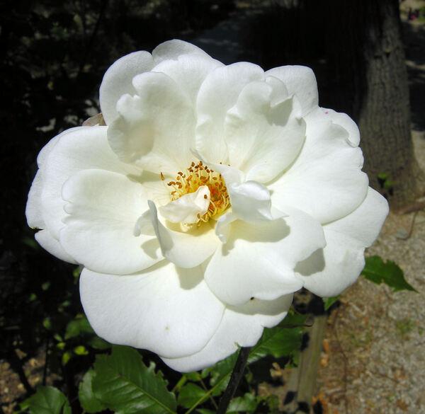 Rosa 'Iceberg Cl.'