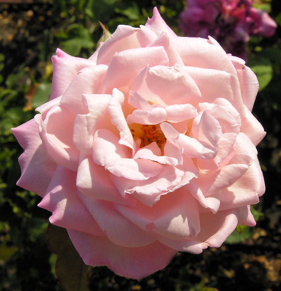 Rosa 'Madame Cussinet-Carnot'
