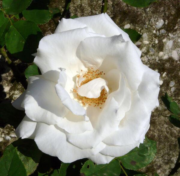 Rosa 'Virgo Cl.'