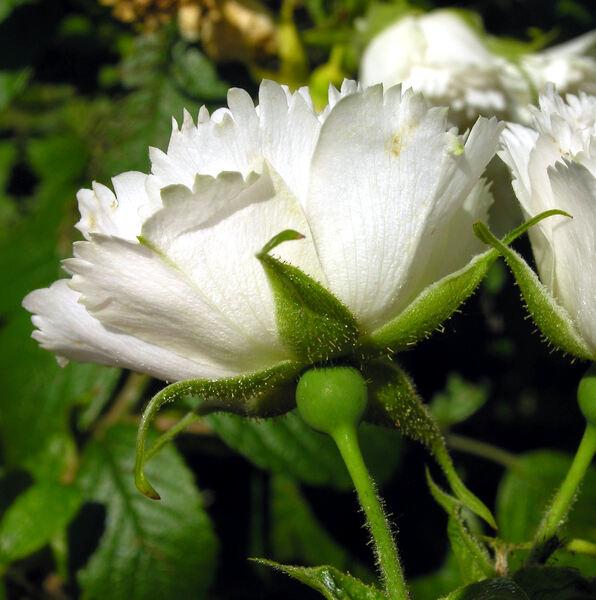 Rosa 'White Grootendorst'