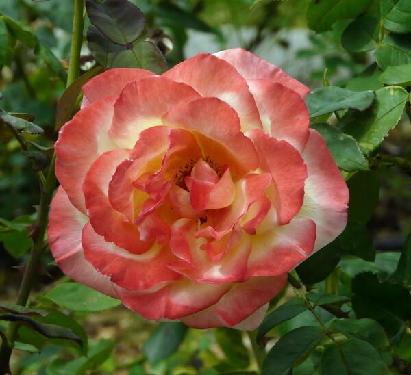 Rosa 'Emeraude d'Or'