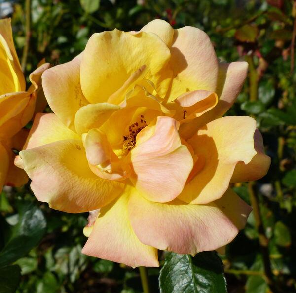 Rosa 'Goldmarie'