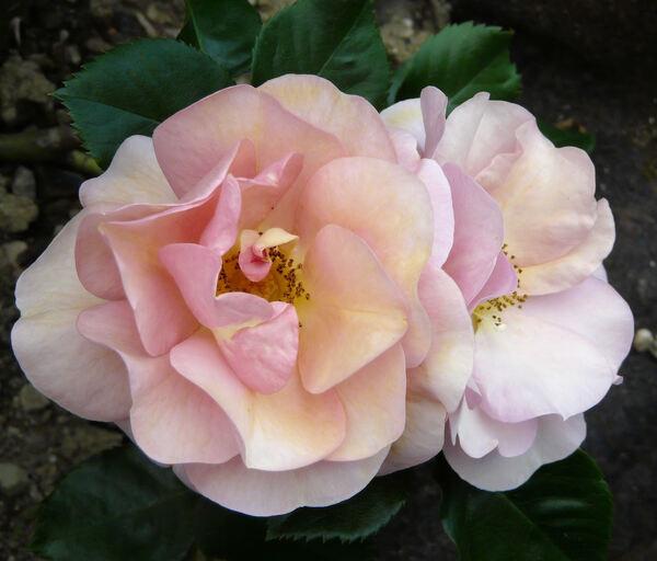 Rosa 'Together Forever'
