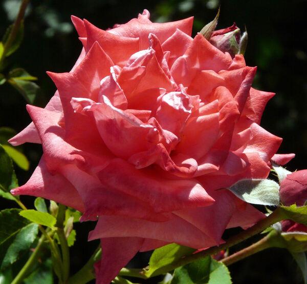 Rosa 'Agreement'