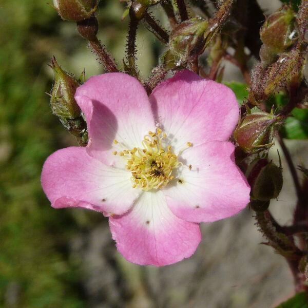 Rosa 'Ambiance ®'