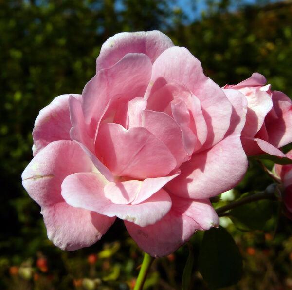 Rosa 'Andromeda ®'