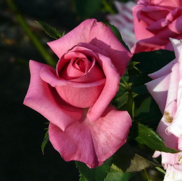 Rosa 'Ballet ®'