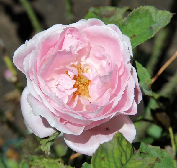 Rosa 'Baroness Rothschild'