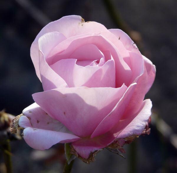 Rosa 'Carlita'