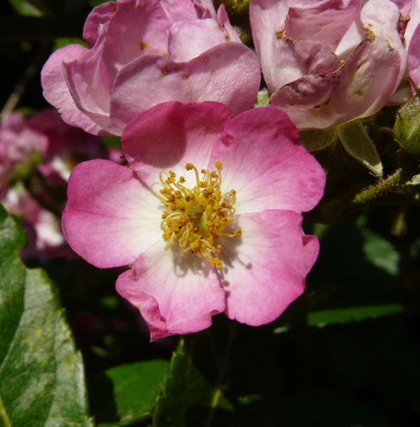 Rosa 'Claire Jolly'