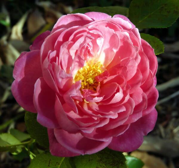 Rosa 'Dan Poncet ®'