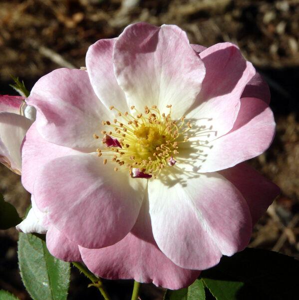 Rosa 'Erfurt'