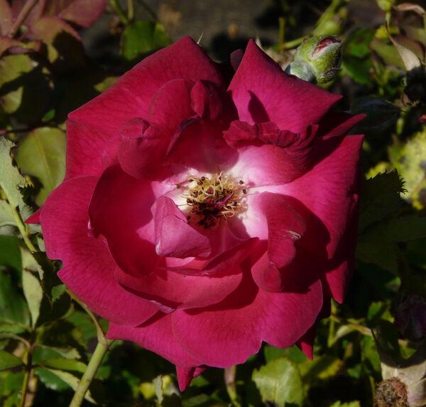Rosa 'Gruss an Teplitz'