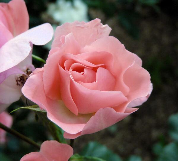 Rosa 'Jardins de France ®'