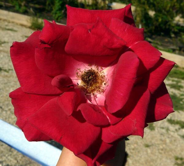 Rosa 'Kampai'