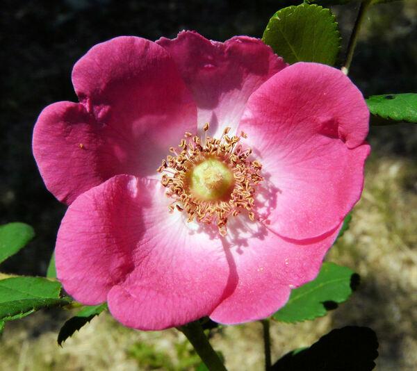 Rosa 'Sealing Wax'