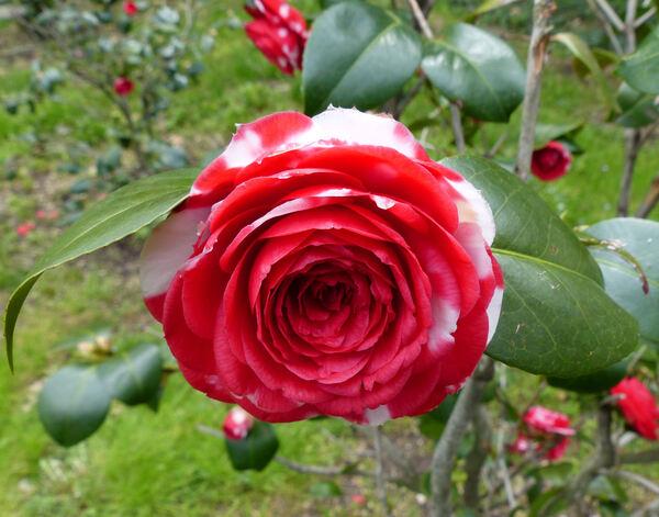 Camellia japonica L. 'General Coletti'