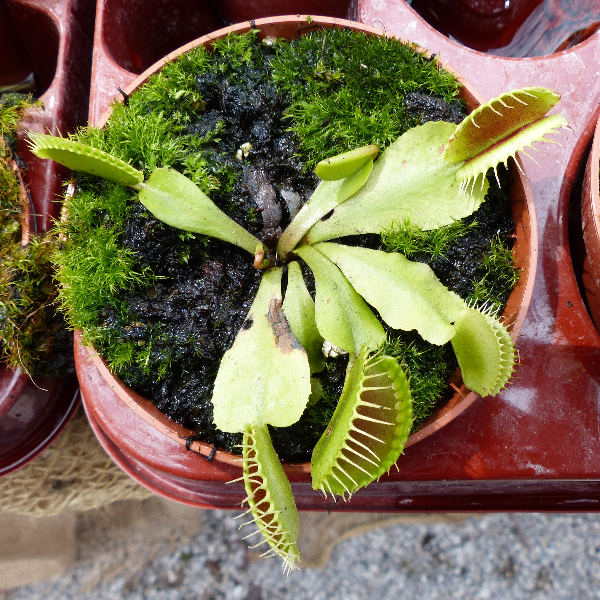 Dionaea muscipula Soland. ex Ellis