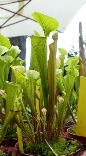 Sarracenia alata Alph. Wood