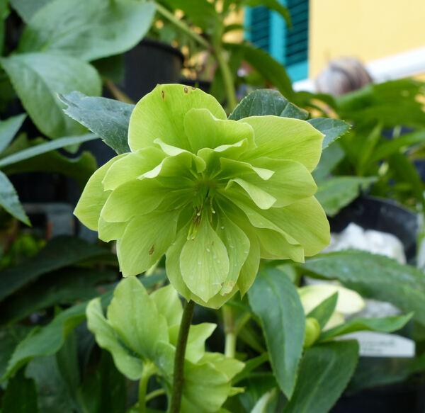 Helleborus orientalis Lam. 'Double Flowers Yellow'