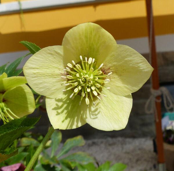 Helleborus orientalis Lam. 'Super Yellow'