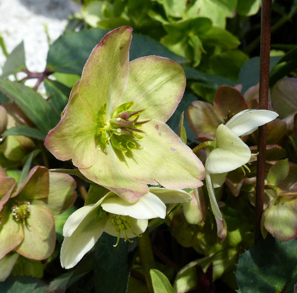 Helleborus x nigercors hort. 'Candy Love'