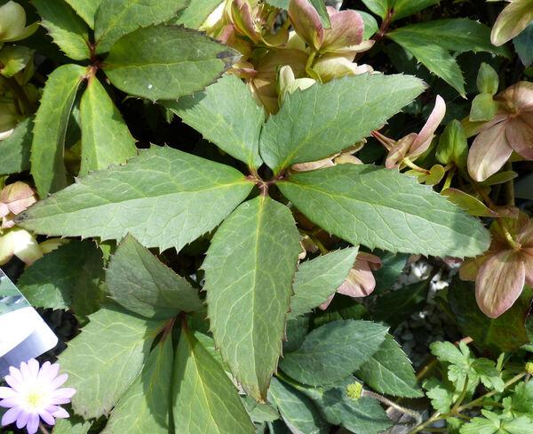 Helleborus x nigercors hort. 'Candy Love'