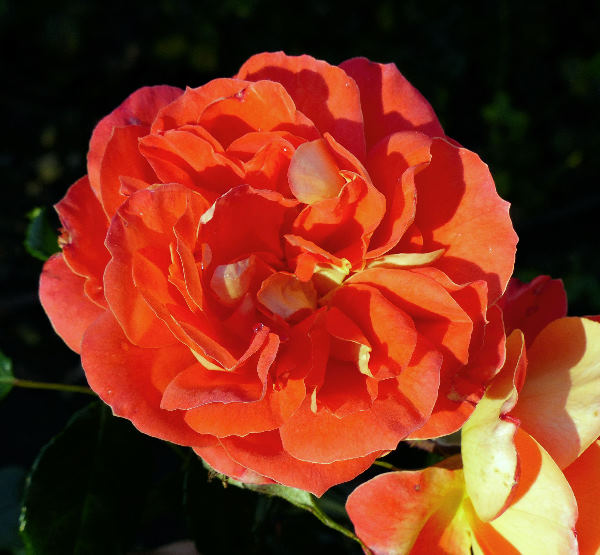 Rosa 'Gebrüder Grimm ®'