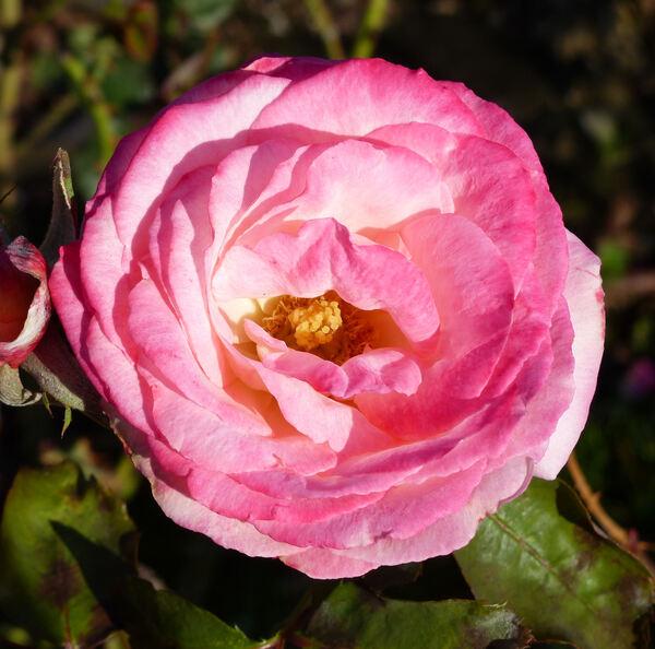 Rosa 'Idylle'
