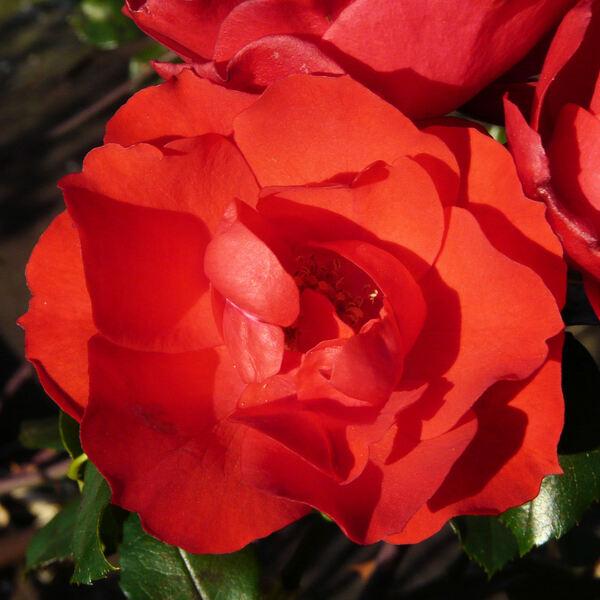 Rosa 'Alain'