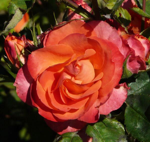 Rosa 'Revolucion ®'