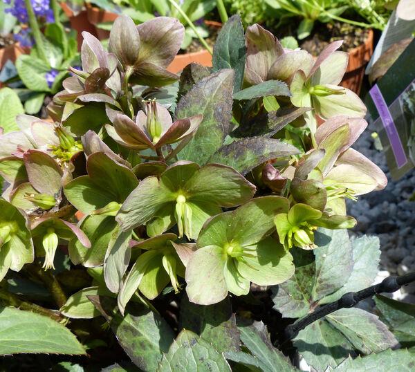 Helleborus x nigercors hort. 'Emma ®'