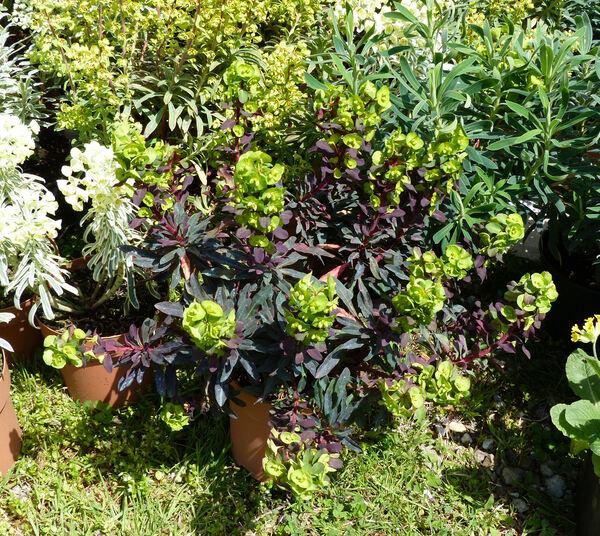 Euphorbia amygdaloides L. 'Purpurea'