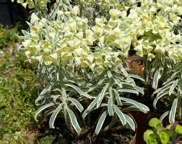 Euphorbia characias L. 'Tasmanian Tiger'