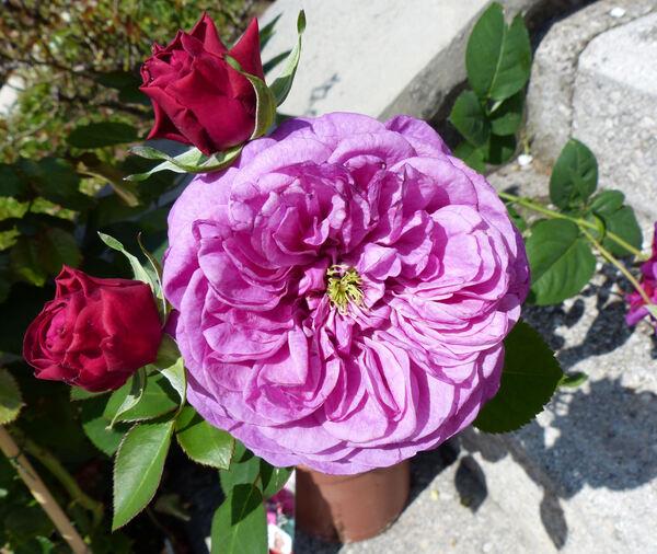 Rosa 'Heidi Klum Rose ®'