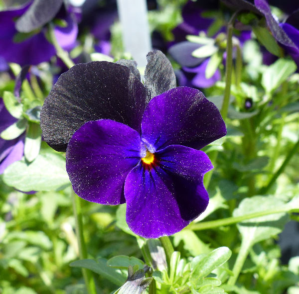 Viola x williamsii hort. 'Angel Black'