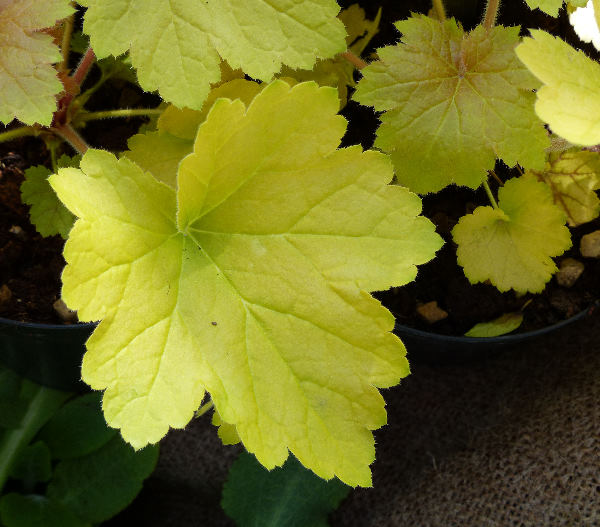 Heuchera 'Electric Lime'