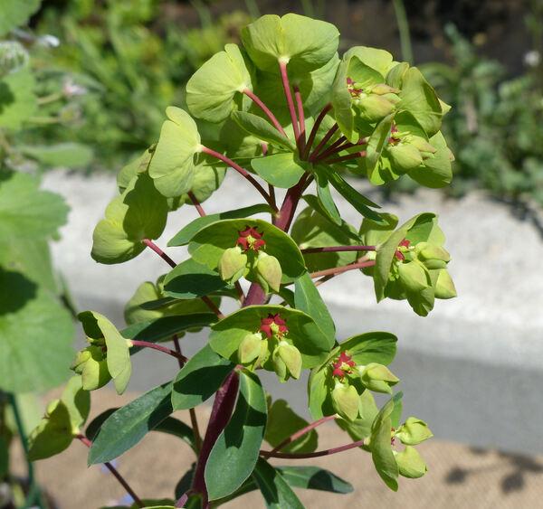 Euphorbia x martinii Rouy