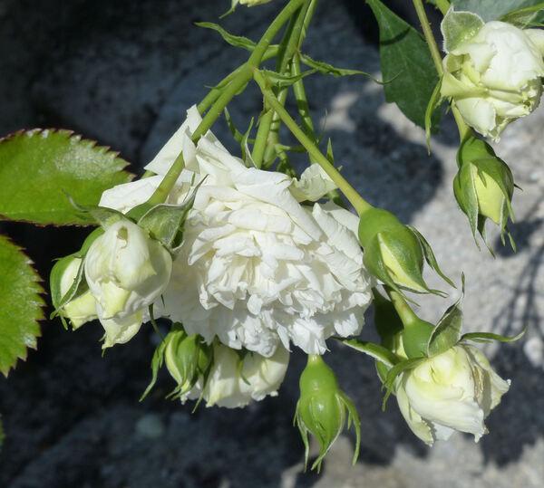Rosa 'Blanc Meillandécor'