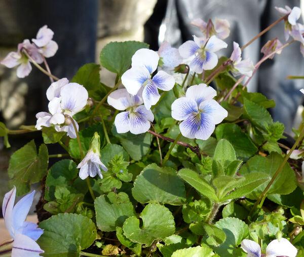 Viola sororia Willd. 'Freckles'