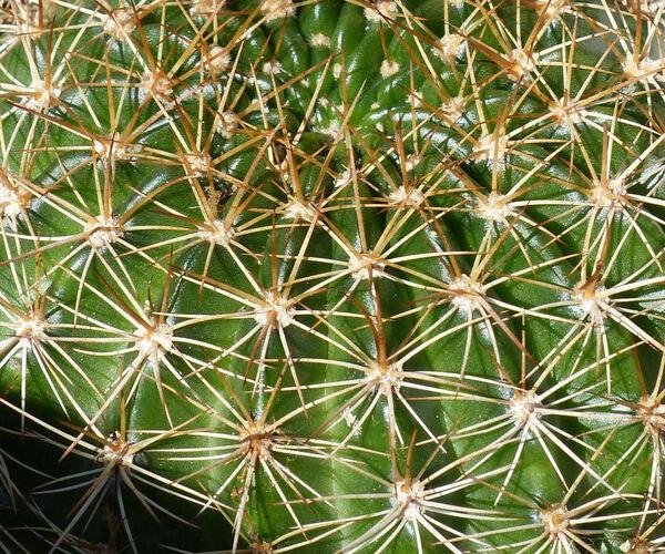 Echinopsis mamillosa Gürke