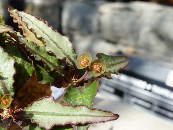 Euphorbia francoisii x capsaintemariensis hort.