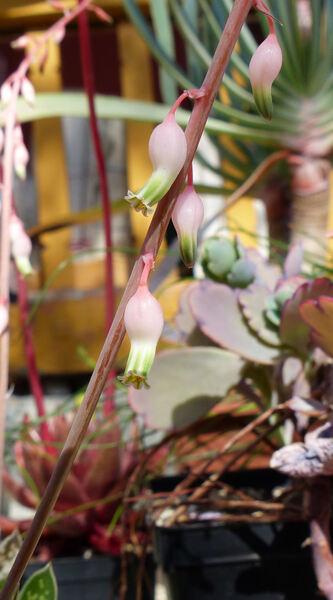 Gasteria bicolor Haw. 'Lilliputiana'
