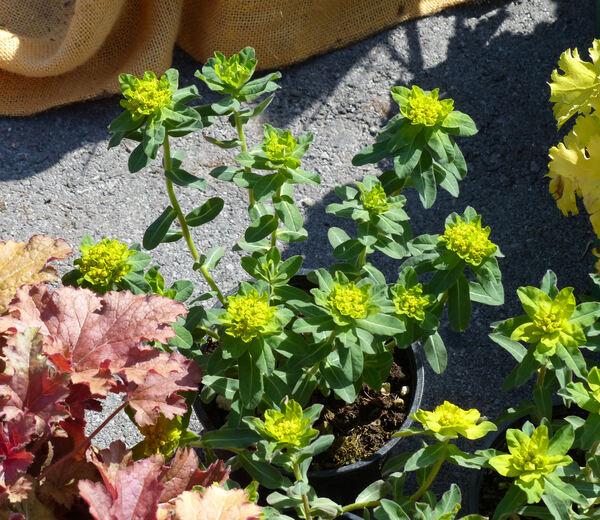 Euphorbia epithymoides L.
