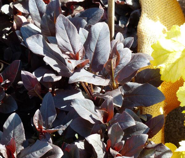 Lysimachia ciliata L. 'Firecracker'